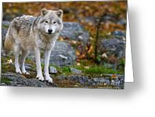 Arctic Wolf Pictures 942 Greeting Card