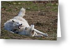 Arctic Wolf Pictures 996 Greeting Card
