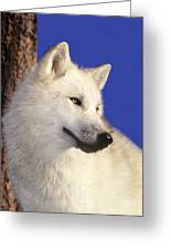 Arctic Wolf Portrait Wildlife Rescue Greeting Card