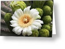 Arizona State Flower The Saguaro Blossom Greeting Card