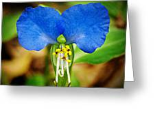 Arkansas Asiatic Dayflower Greeting Card by Randy Forrester