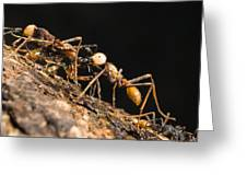 Army Ant Carrying Cricket La Selva Greeting Card
