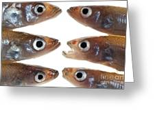 Arrangement Of Small Fish Smelt Greeting Card