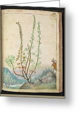Artemisia Abrotanum Greeting Card