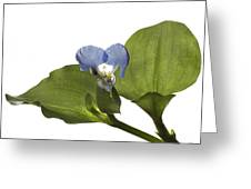Asiatic Day Flower Greeting Card