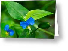 Asiatic Dayflower Greeting Card