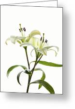 Asiatic Lily Flowers Against White Greeting Card