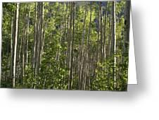 Aspen Along Independence Pass  Greeting Card