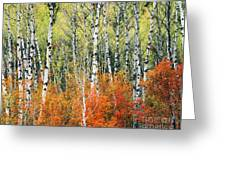 Aspen And Maple Trees In Autumn Greeting Card