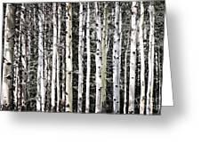 Aspen Tree Trunks Greeting Card