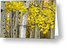 Aspens At Autumn Greeting Card
