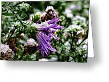 Aster In First Snow Fall 2- Greeting Card
