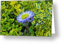Aster Daisy Greeting Card
