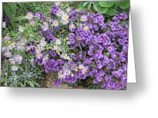 Asters Light And Dark Greeting Card