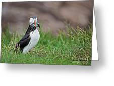 Atlantic Puffin With Sandeels Greeting Card