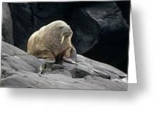 Atlantic Walrus Bull On Rocky Shore Greeting Card
