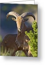 Auodad Ram On Watch Greeting Card