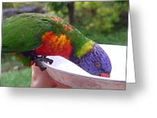 Australia - One Wet Lorikeet Feeding Greeting Card