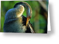 Australian Darter Preening Greeting Card