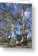 Australian Native Tree 12 Greeting Card