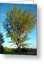 Australian Pine At Sundown Greeting Card