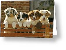 Australian Sheepdog Puppies Greeting Card