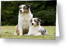 Australian Shepherd Dogs Greeting Card
