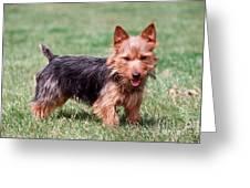 Australian Terrier Dog Greeting Card