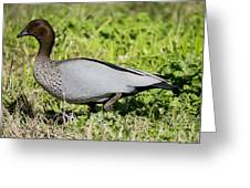 Australian Wood Duck Greeting Card