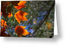 Autumn Maple Leaves In The Sun Greeting Card