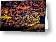 Autumns Sleepy Duck Greeting Card