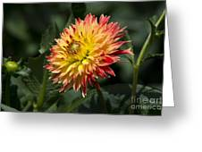 Awakening Dahlia Greeting Card