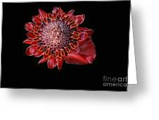 Awapuhi Ko Oko'o - Torch Ginger - Etlingera Elatior - Hawaii Greeting Card