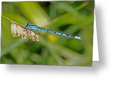 Azure Damselfly  Greeting Card