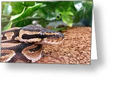 Baby Ball Python Greeting Card