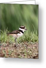 Baby - Bird - Killdeer Greeting Card