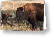 Baby Bison Meets Daddy Greeting Card