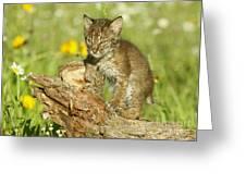 Baby Bobcat At Play Greeting Card