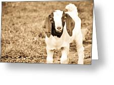 Baby Boer Goat Greeting Card