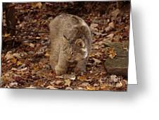 Baby Canada Lynx In An Autumn Forest Greeting Card