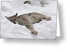 Baby Canadian Lynx Laying In The Snow Greeting Card