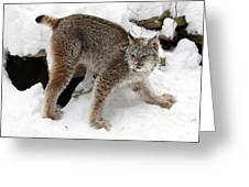 Baby Canadian Lynx Leaving The Winter Den Greeting Card