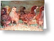 Baby Chicks Under Heat Lamp Art Prints Greeting Card
