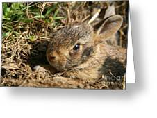 Baby Eastern Cottontail Greeting Card