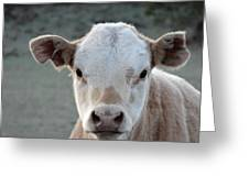 Baby Cow In Colorado Greeting Card