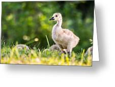 Baby Duckling In The Morning Light Greeting Card