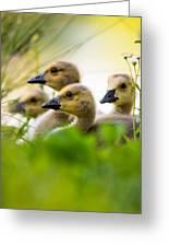 Baby Ducklings Greeting Card