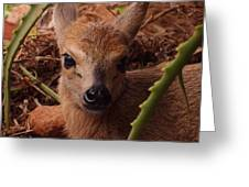 Baby Duiker Greeting Card