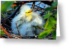 Baby Egrets Greeting Card
