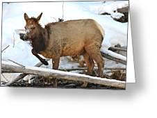 Baby Elk In Yellowstone Greeting Card